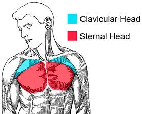 upper-chest1
